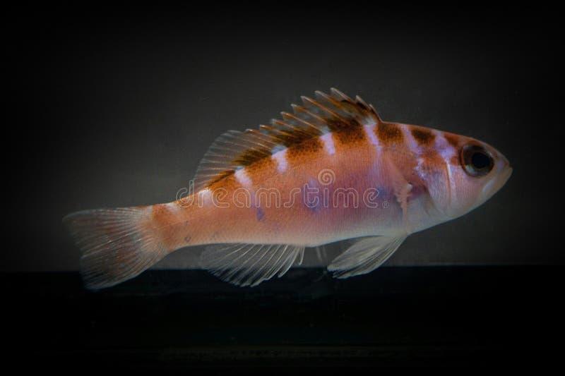 Plan rapproché de poissons de Basslet de craie photographie stock libre de droits