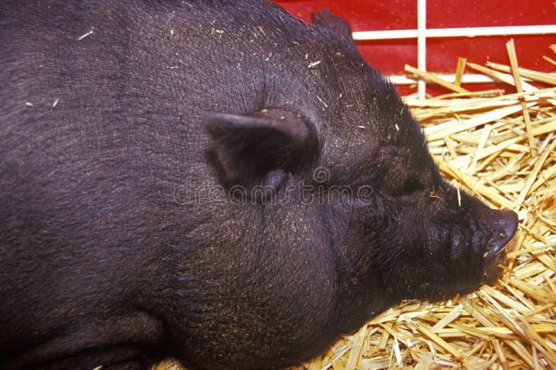 Plan rapproché de porc noir en foin, parc animalier, basse-cour juste du comté de Los Angeles, Pomone, CA photo stock