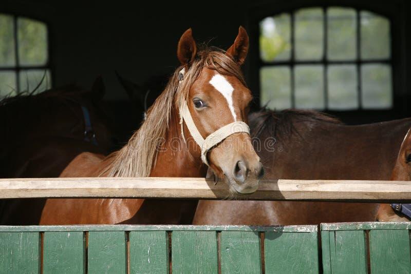 Plan rapproché de portrait d'un cheval de pur sang dans la porte de grange photographie stock libre de droits