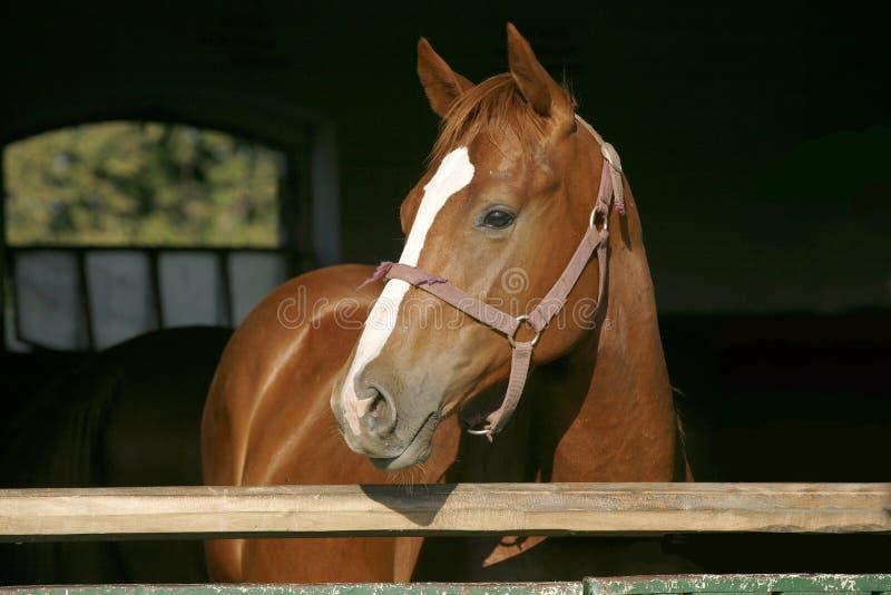 Plan rapproché de portrait d'un cheval de pur sang dans la porte de grange photos libres de droits