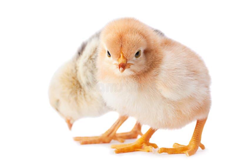 Plan rapproché de poulet de deux bébés photo stock
