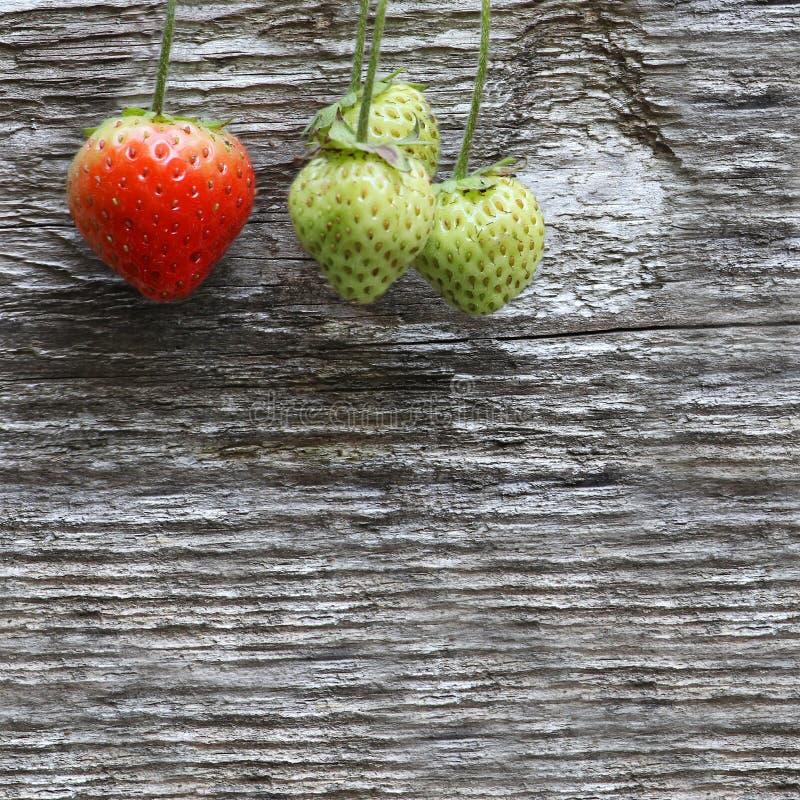 Plan rapproché de quatre fraises sur la branche, sur la vieille rouille en bois grise photos libres de droits