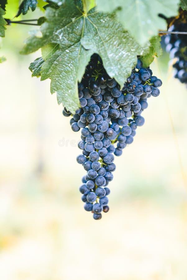 Plan rapproché de raisin pourpre frais sur la branche dans le vignoble image libre de droits