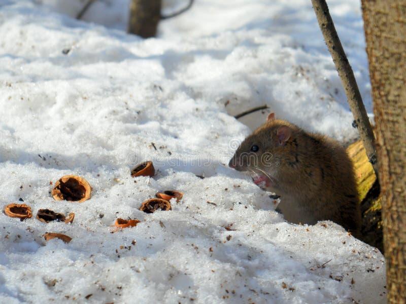 Plan rapproché de rat photo stock