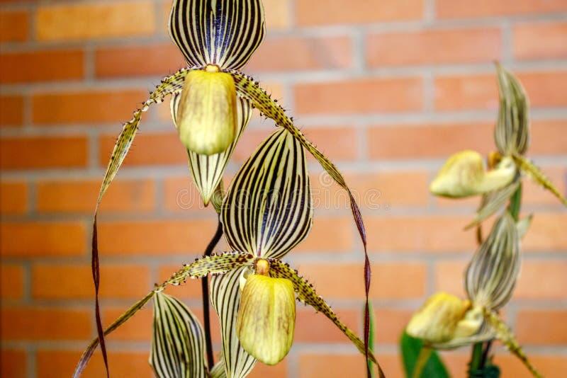 Plan rapproché de regard très unique et étranger d'orchidée photos libres de droits