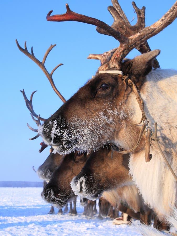 Plan rapproché de renne dans le traîneau un jour du ` s d'hiver images libres de droits