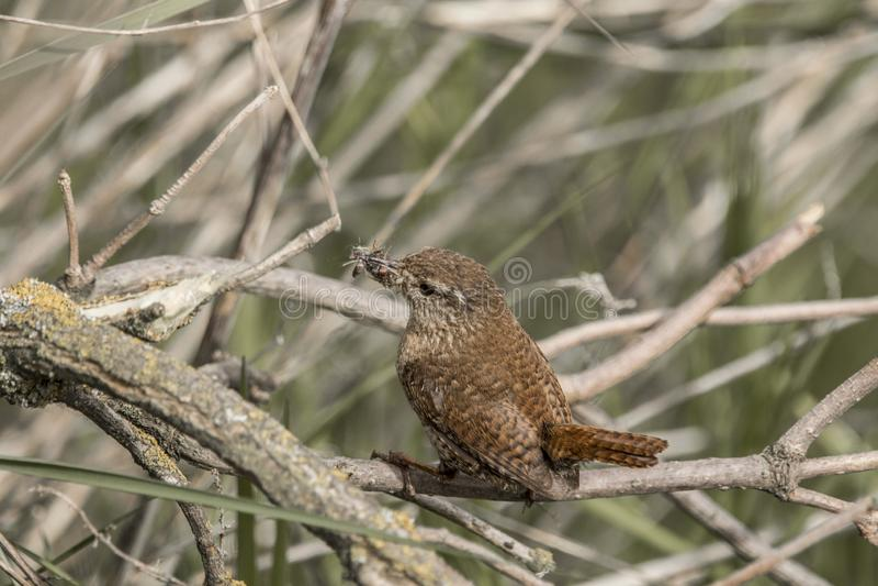 Plan rapproché de roitelet avec des insectes dans un buisson photographie stock libre de droits
