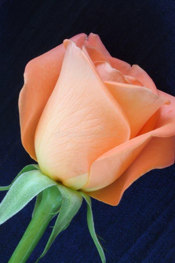 Plan rapproché de Rose photographie stock