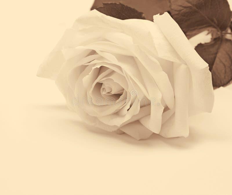 Plan rapproché de rose de blanc comme fond Dans la sépia modifiée la tonalité Rétro type images libres de droits