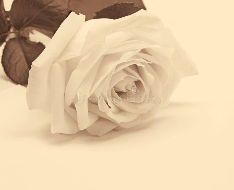 Plan rapproché de rose de blanc comme fond Dans la sépia modifiée la tonalité Rétro type images stock