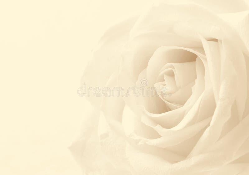 Plan rapproché de rose de blanc comme fond Orientation molle Dans la sépia modifiée la tonalité r image stock