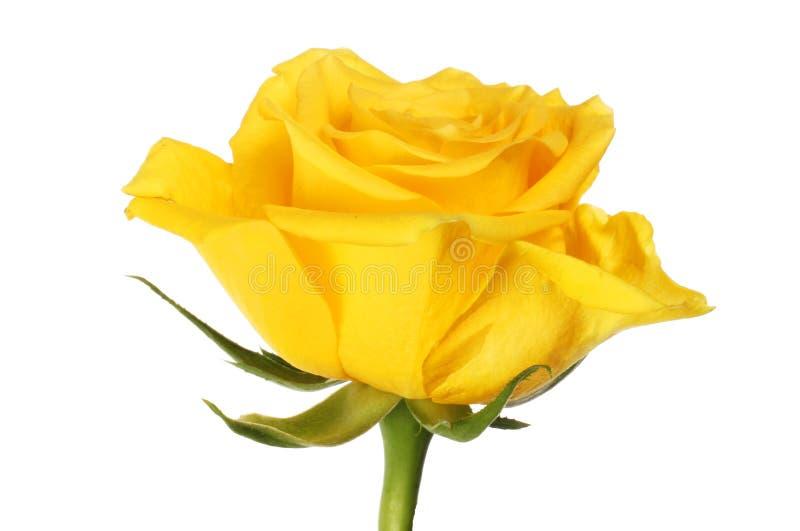Plan rapproché de Rose jaune photo stock