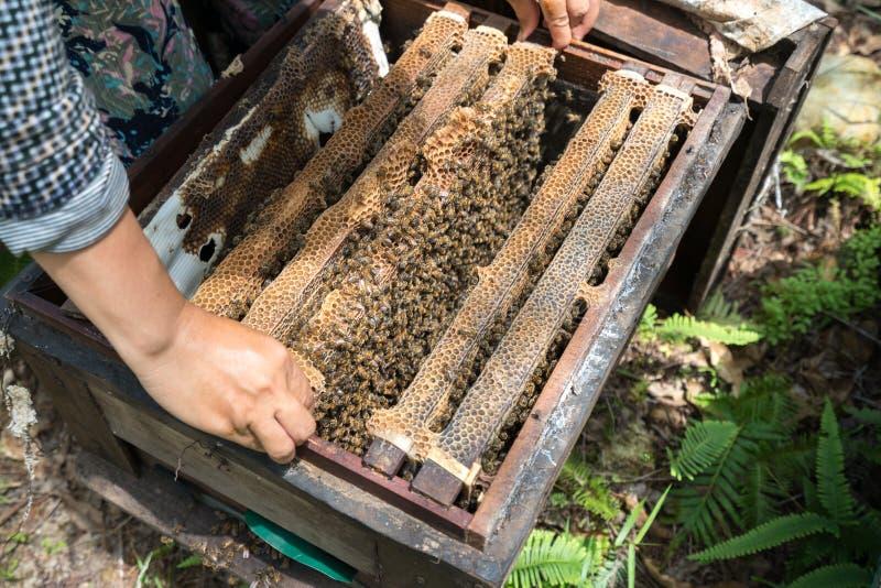 Plan rapproché de ruche gardé par humain avec des mains de l'homme Rassemblement du miel du nid d'abeille images stock