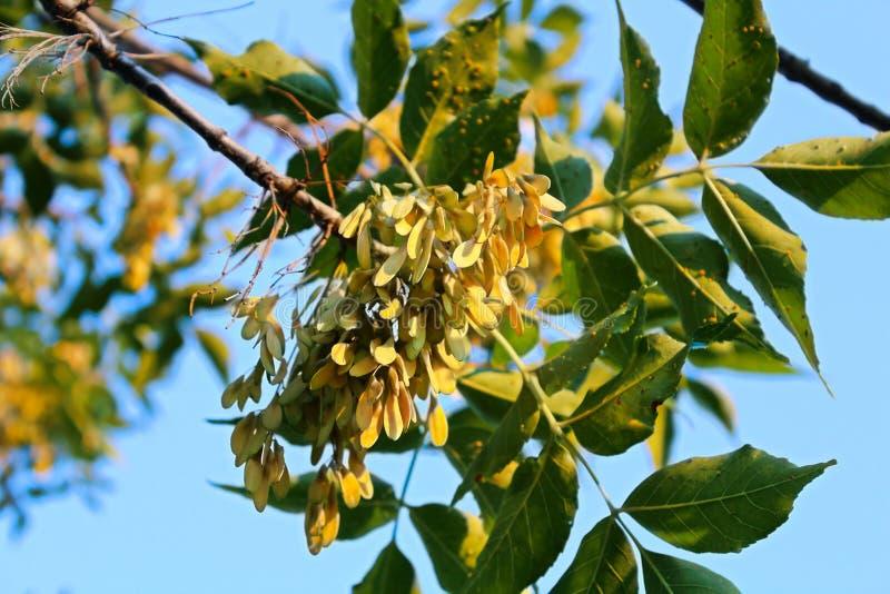 Plan rapproché de samara sur un arbre de cendre verte pendant l'été photos libres de droits