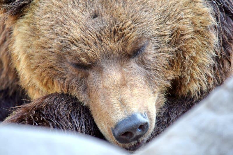 Plan rapproché de sommeil d'Arctos Beringianus d'Ursus d'ours de Brown photo libre de droits