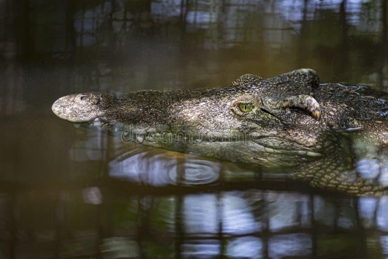 Plan rapproché de tête de crocodile flottant dans l'eau photos stock
