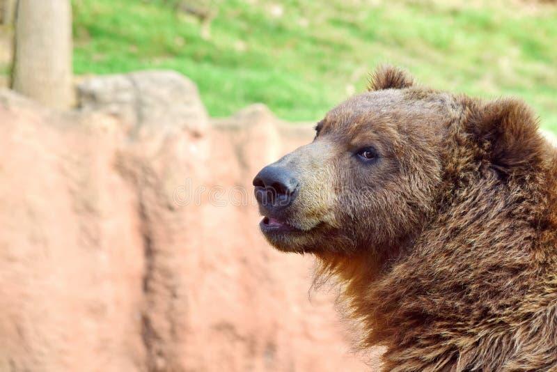 Plan rapproché de tête d'Arctos Beringianus d'Ursus d'ours de Brown photo stock
