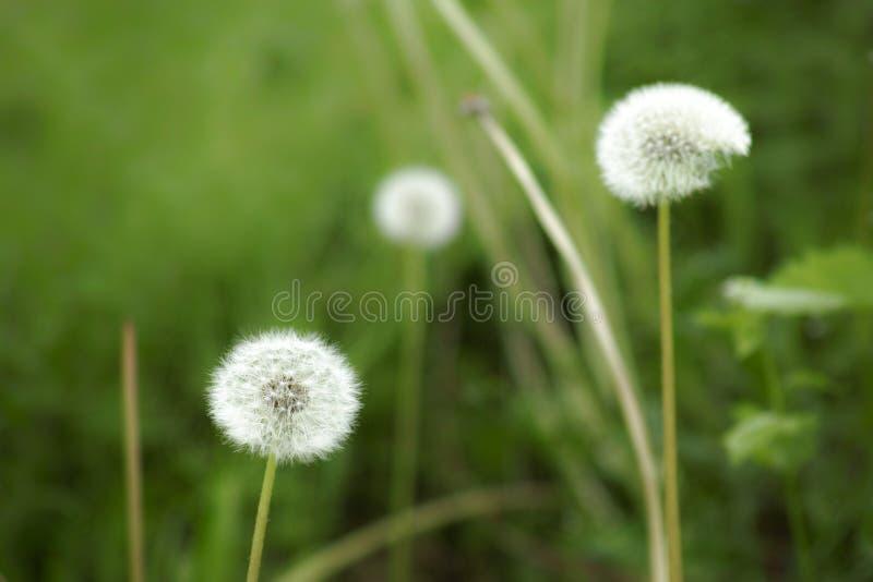Plan rapproché de tête de graine de pissenlit avec deux autres et l'herbe verte b image stock