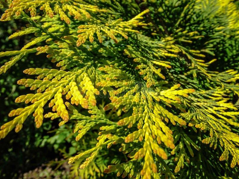 Plan rapproché de texture vert jaunâtre lumineuse de la verdure naturelle des aiguilles des occidentalis de Thuja Foyer sélectif photos stock