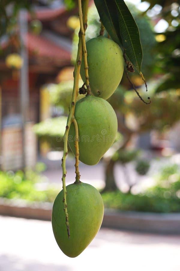 Plan rapproché de trois mangues vertes pendant d'un arbre au Vietnam rural photos libres de droits