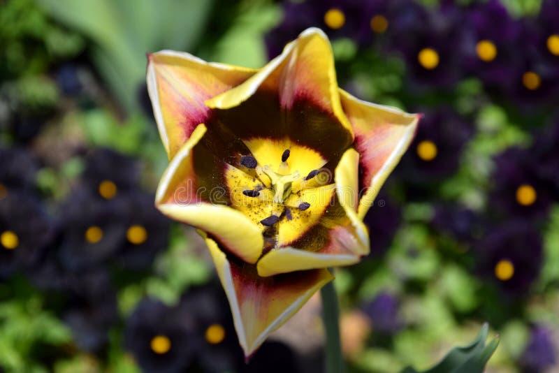 Plan rapproché de tulipe des pétales ci-dessus et trigonométriques et des couleurs de beauté images stock