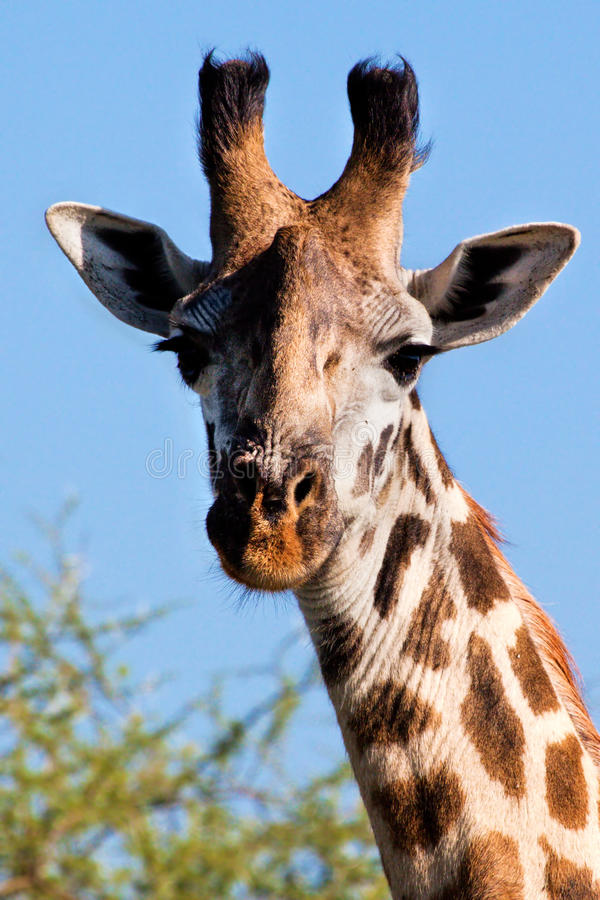 Plan rapproché de verticale de girafe. Safari dans Serengeti, Tanzanie, Afrique image stock