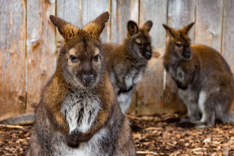 Plan rapproché de wallaby avec deux wallaby à l'arrière-plan devant une barrière photo libre de droits