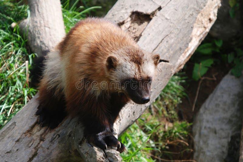 Plan rapproché de Wolverine photo stock