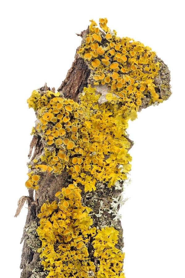Plan rapproché de Xanthoria Parietina (lichen d'or de bouclier) sur l'écorce d'arbre image libre de droits