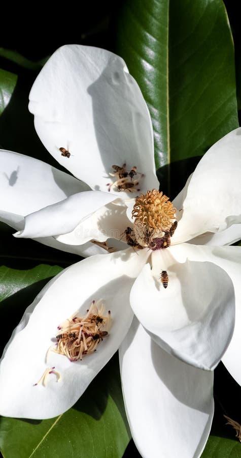 Plan rapproché des abeilles pollinisant une fleur blanche de magnolia photos libres de droits