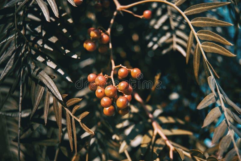 Plan rapproché des baies et des feuilles rouges du molle de schinus image stock