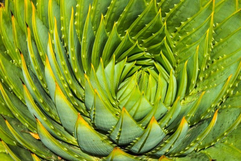 Plan rapproché des cactus en spirale d'aloès image libre de droits