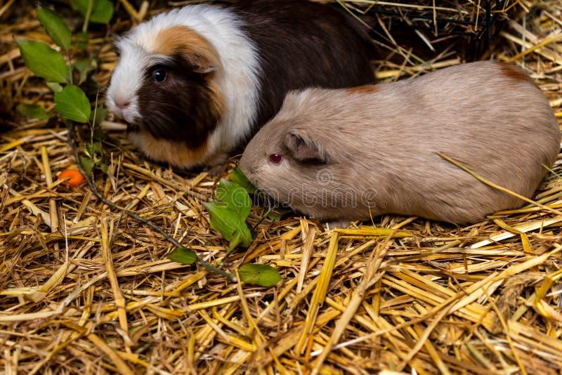 Plan rapproché des cavies domestiques de porcellus de Cavia de cobayes de paires sur la paille images stock