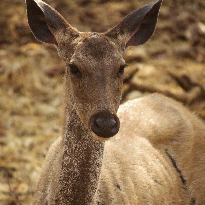 Plan rapproché des cerfs communs de Sambhar photos libres de droits