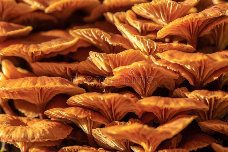 Plan rapproché des champignons jaunes lumineux s'élevant sur une souche rougeoyant en soleil lumineux photo stock