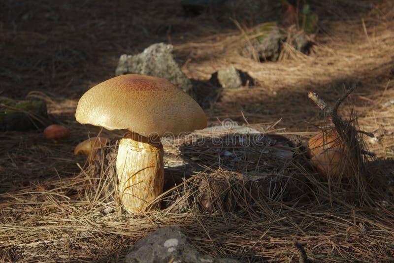 Plan rapproché des champignons oranges sphériques sur un tronçon de pin entouré par des aiguilles et des pierres de pin photographie stock