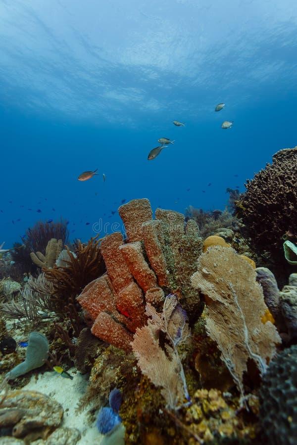 Plan rapproché des coraux, des fans de mer, des éponges et des poissons colorés au récif coralien outre de Roatan images stock