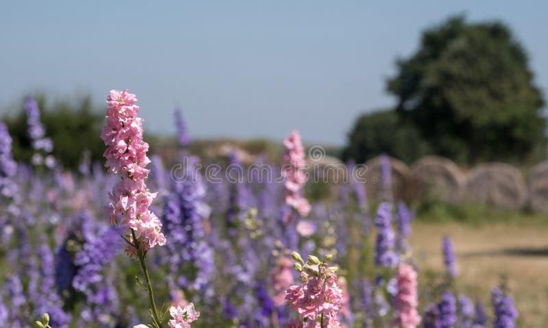 Plan rapproché des delphiniums colorés dans un domaine à la mèche, Pershore, Worcestershire, R-U Les pétales sont utilisés pour f image stock