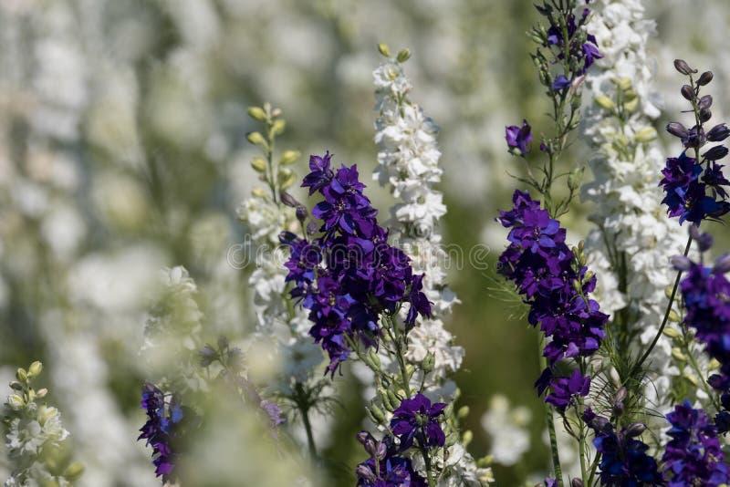Plan rapproché des delphiniums pourpres et blancs dans le domaine à la mèche, Pershore, Worcestershire, R-U Des pétales sont util photos stock