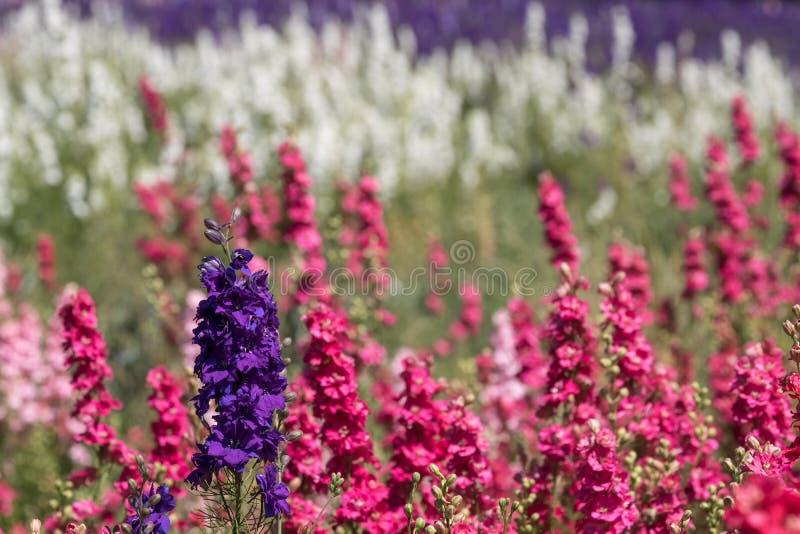 Plan rapproché des delphiniums roses à la ferme de fleur à la mèche, Pershore, Worcestershire, R-U Les pétales sont utilisés pour images libres de droits