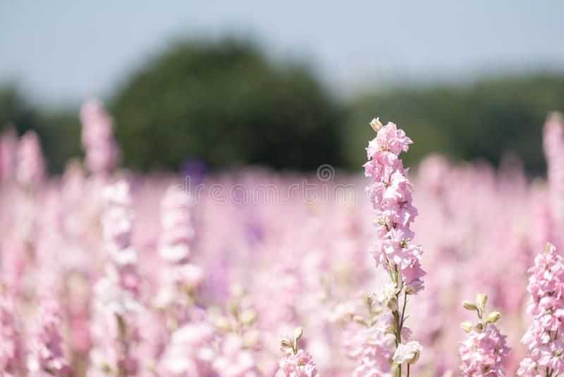 Plan rapproché des delphiniums roses à la ferme de fleur à la mèche, Pershore, Worcestershire, R-U Les pétales sont utilisés pour photographie stock