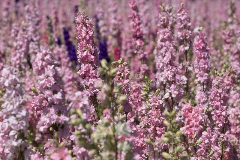 Plan rapproché des delphiniums roses à la ferme de fleur à la mèche, Pershore, Worcestershire, R-U Les pétales sont utilisés pour image stock