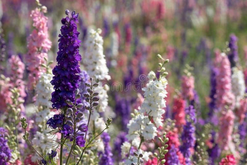 Plan rapproché des delphiniums roses et pourpres dans le domaine à la mèche, Pershore, Worcestershire, R-U Des pétales sont utili image libre de droits