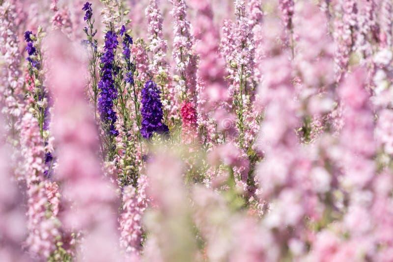 Plan rapproché des delphiniums roses et pourpres dans le domaine à la mèche, Pershore, Worcestershire, R-U Des pétales sont utili image stock