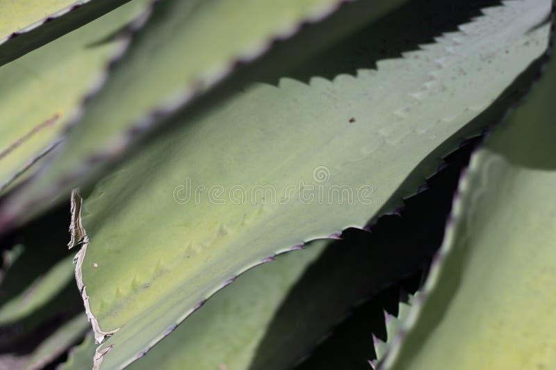 Plan rapproché des feuilles d'usine d'agave photos stock