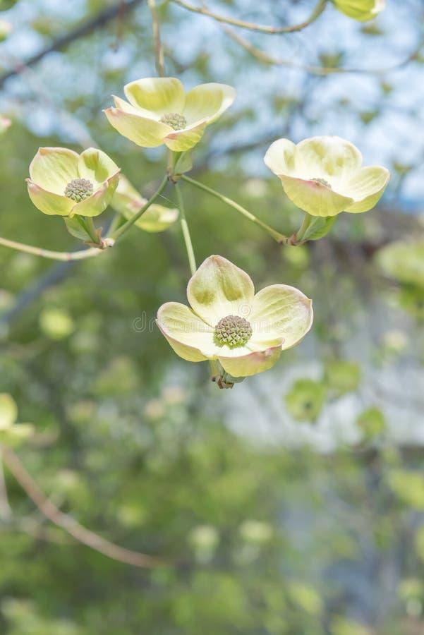 Plan rapproché des fleurs blanches de floraison de cornouiller fleurissant en premier ressort photo stock