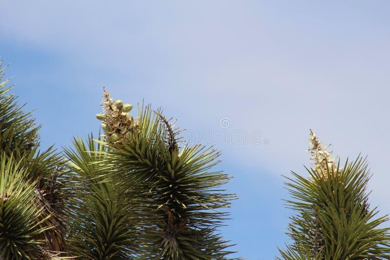 Plan rapproché des fleurs d'arbre de Joshua images libres de droits