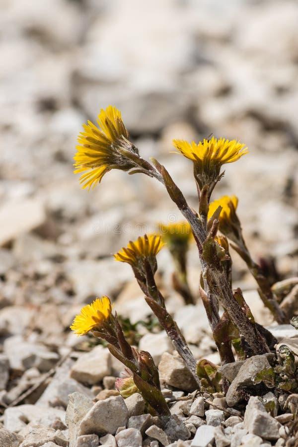 Plan rapproché des fleurs de coltsfoot image libre de droits