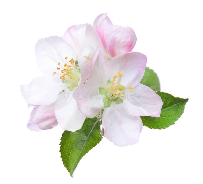 Plan rapproché des fleurs de floraison de pomme d'isolement sur le blanc photographie stock libre de droits