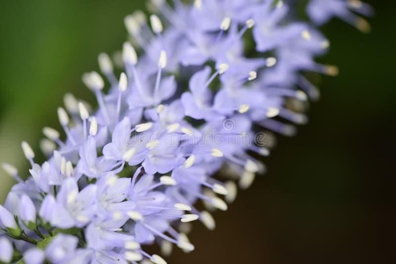 Plan rapproché des fleurs de longifolia de Veronica photo libre de droits